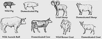 Cattle Domestication Timeline - 0425